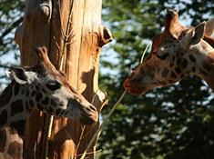 Den žiraf  v liberecké zoo